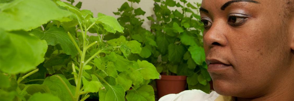 The CSIR puts tabacco plants to good use